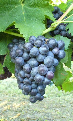 """Le uve """"Schiave"""" del Trentino-Alto Adige"""