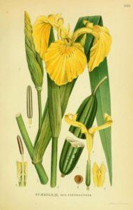 Giglio d'acqua (Iris pseudacorus)