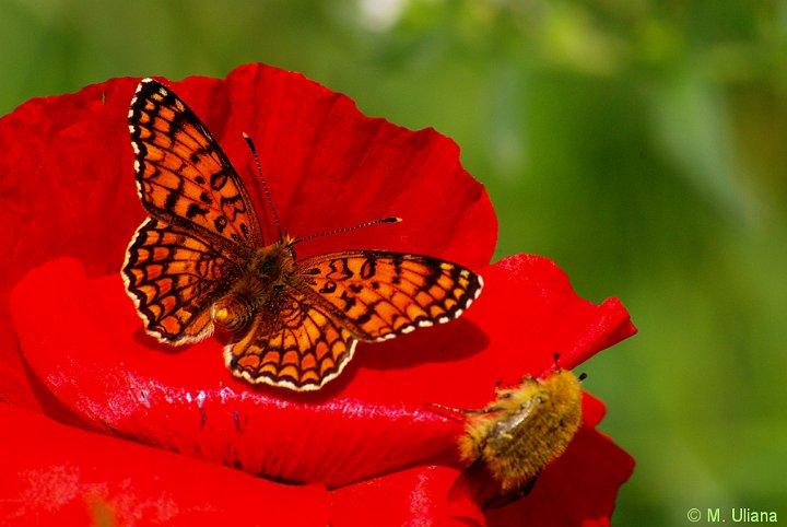 Melitaea phoebe (farfalla) e Tropinota squalida (Coleottero)