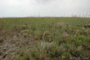 Puccinellia palustris