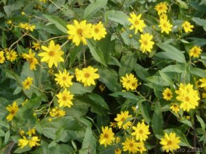 La flora spontanea della Saccisica