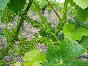 Sulle tracce dei vini benedettini
