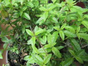 Erba Luigia (Aloysia citrodora)