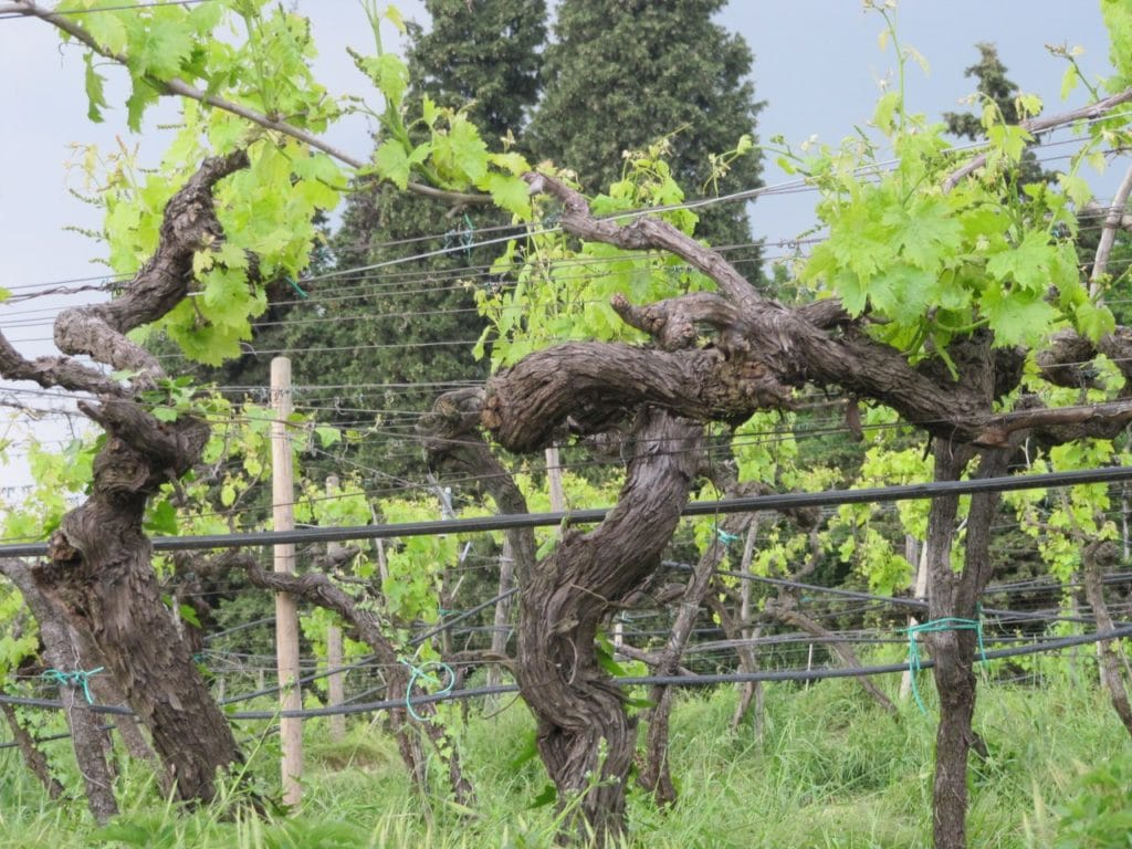 Vecchie vigne nell'azienda Coffele