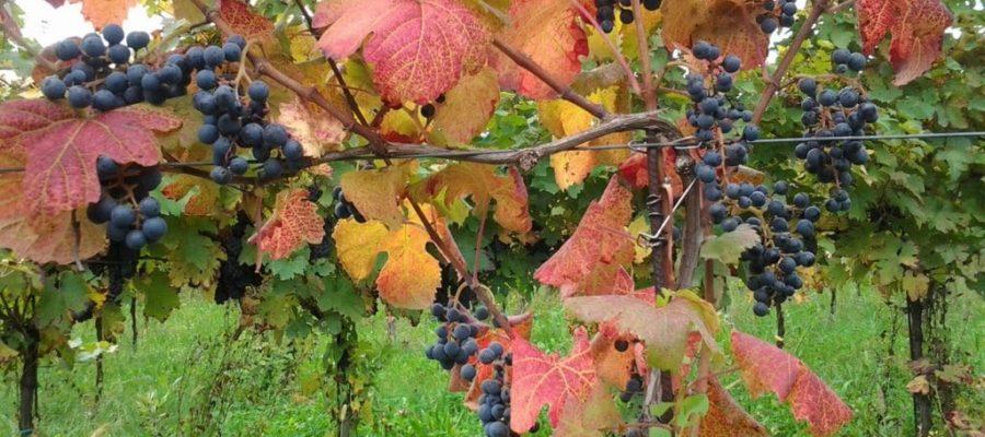 Turchetta, un vino da (ri)scoprire